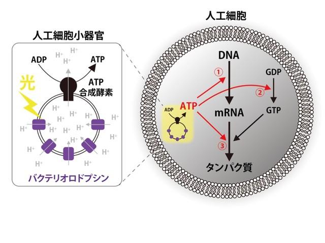 光からエネルギーを取得し、タンパク質を合成する人工細胞